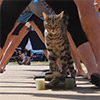 Cat Breaks Skateboarding World Record